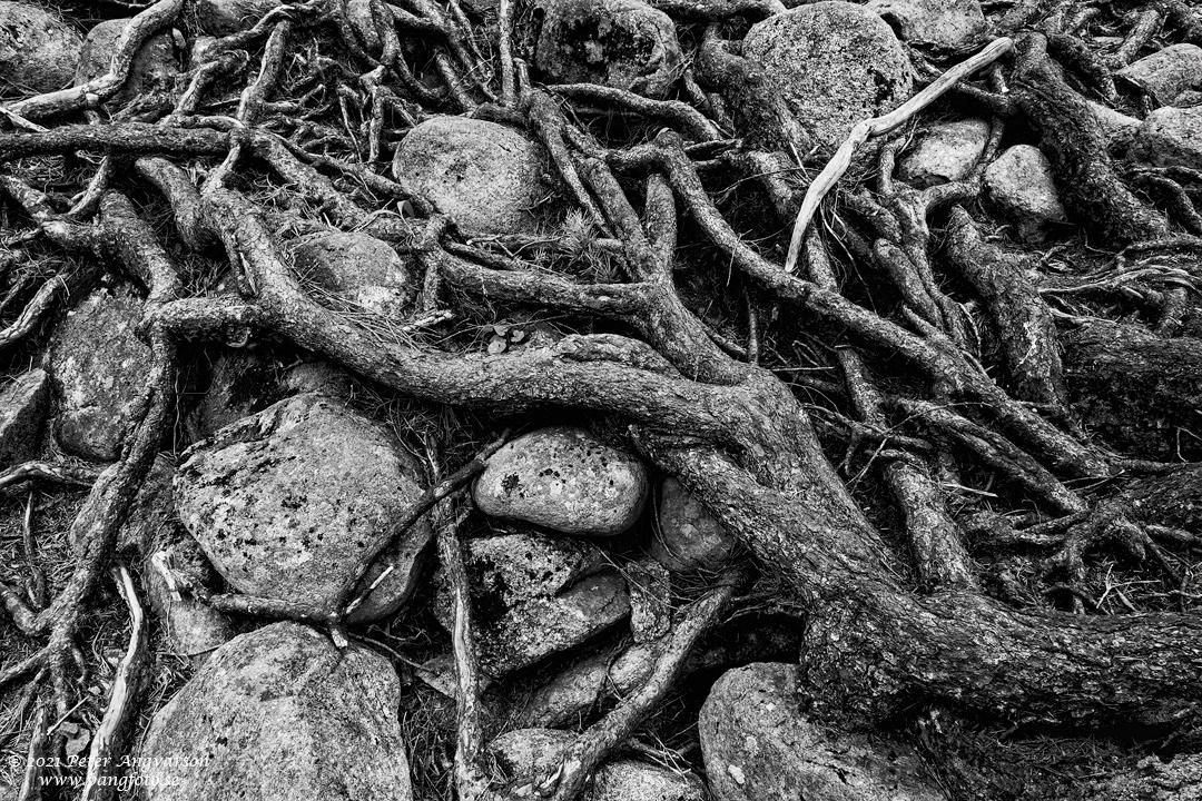 Rötter i Skuleskogens nationalpark, Höga Kusten