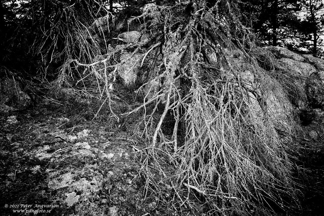 Döda träd på Skuleberget, Höga Kusten.