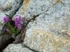 Blommor i klippskreva