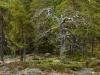 Död tall i Skuleskogens nationalpark