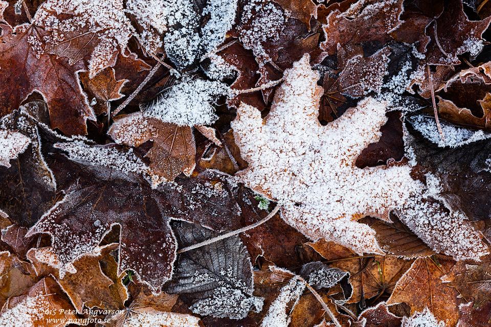 frost_lov_pangfoto_se_Q2A1516