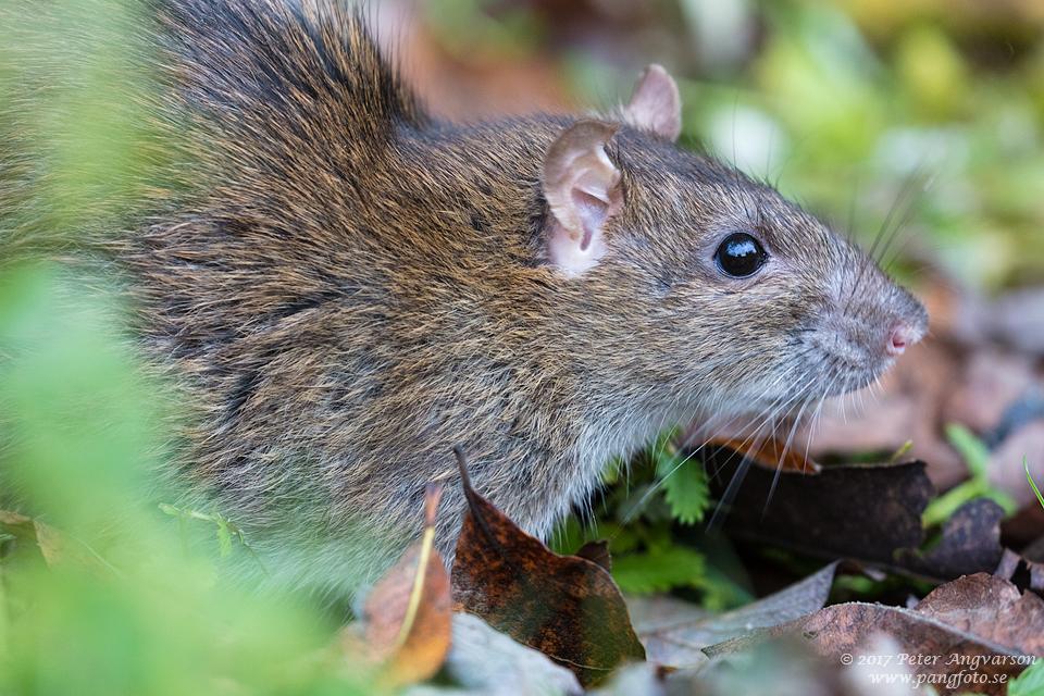 brunråtta brown rat