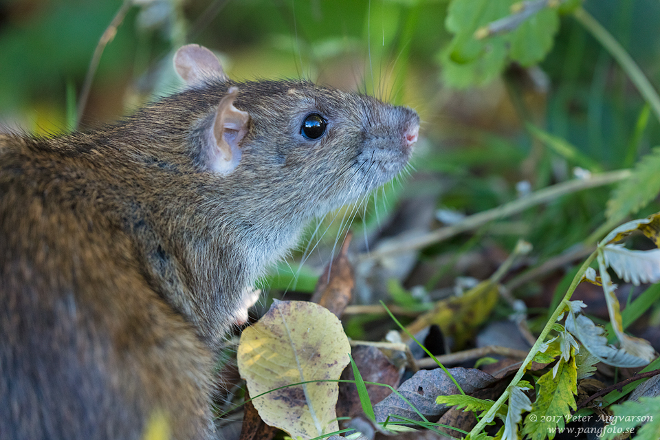 brunråtta brown rat