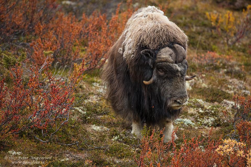 Myskoxe Dovrefjäll Norge
