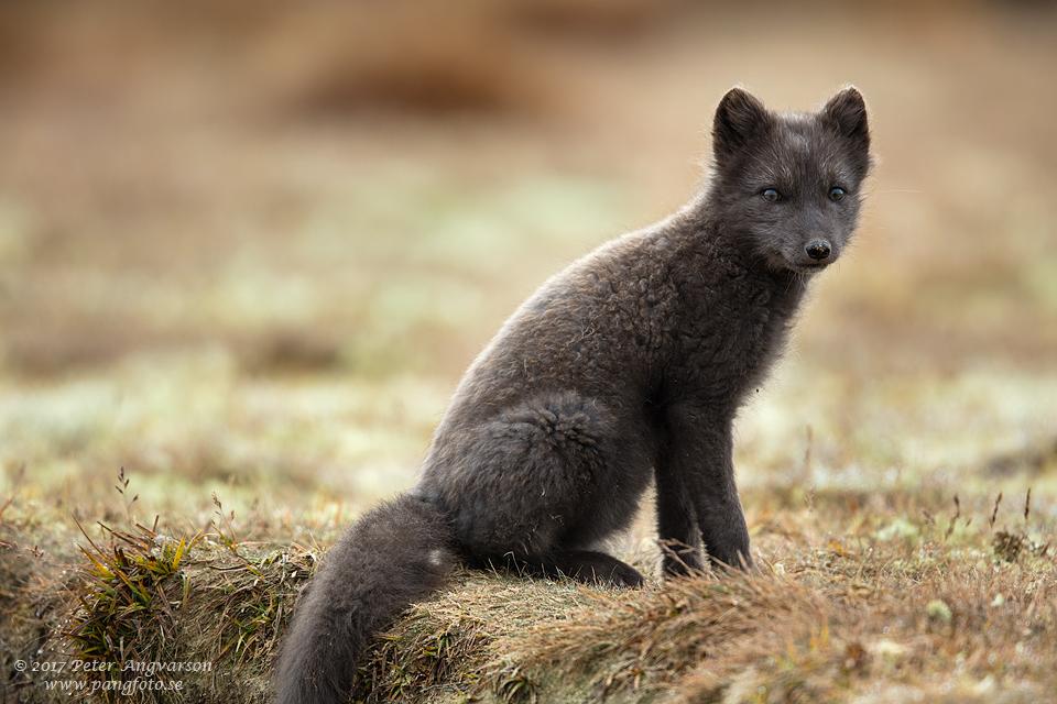 Fjällräv Vulpes lagopus Dovrefjäll Norge