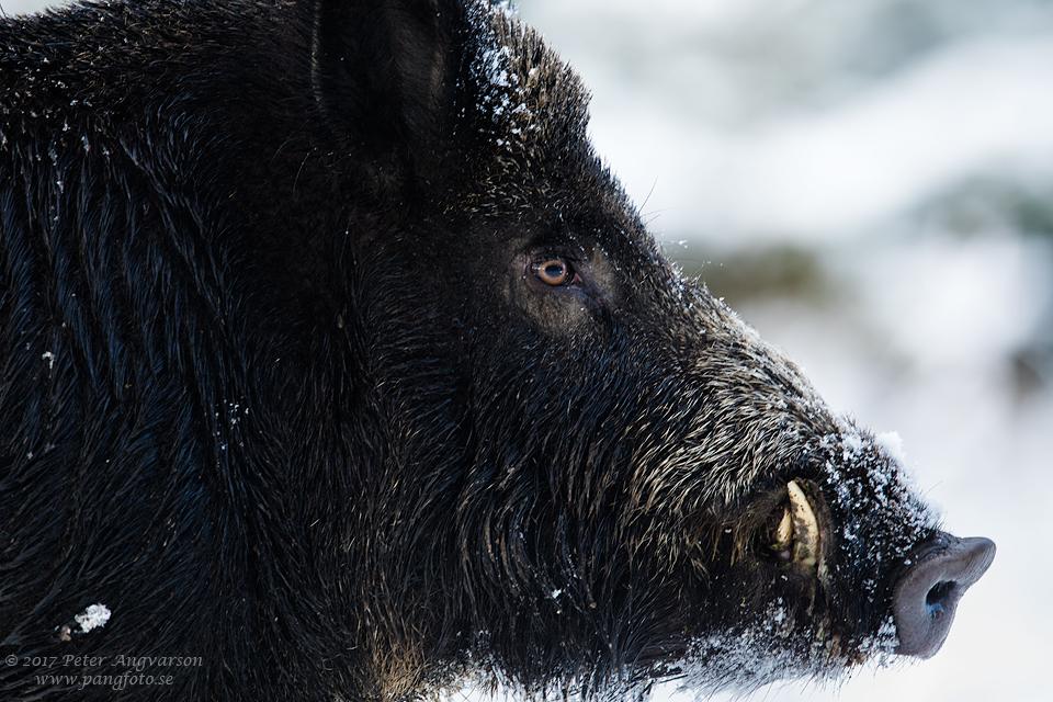 Vildsvin Wild boar