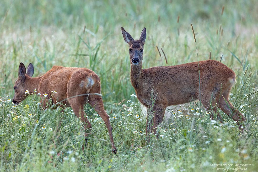 Rådjur, Fallow deer, capreolus capreolus
